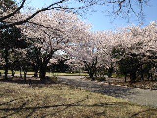 2012、4航空公園の桜