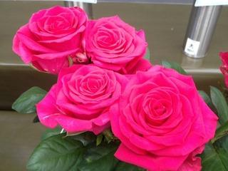 国バラp 濃いピンク切りバラ