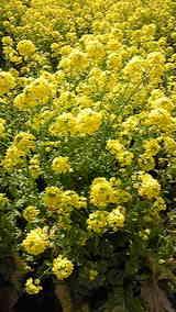 丸亀の菜の花畑