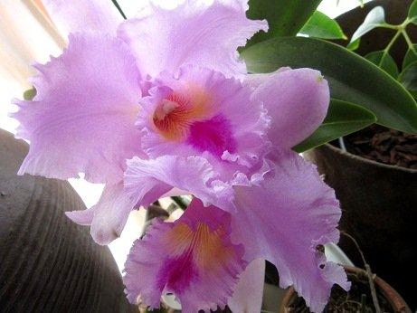 orchid rhapsody