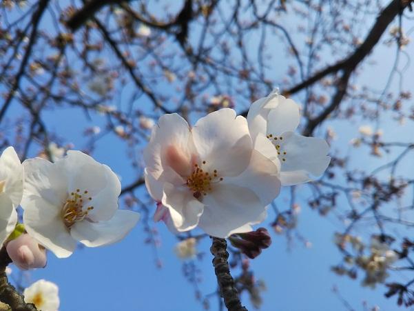 平成最後の春・ご近所散歩編