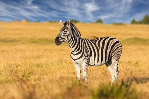 zebra in grassland