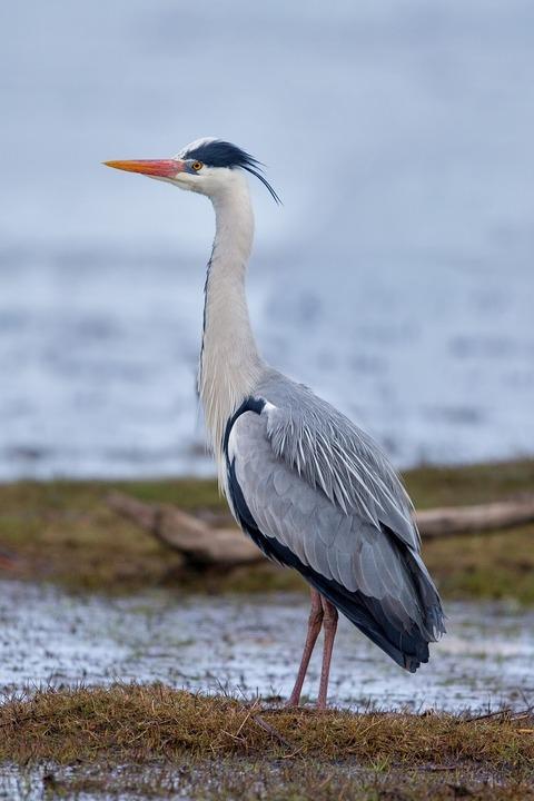 Graureiher_Grey_Heron