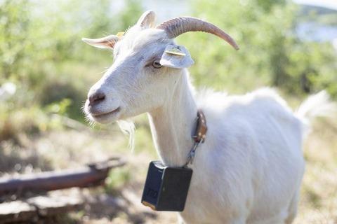 goat[1]