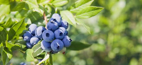 Blueberries5e67d43e5acfe