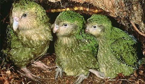 Kakapo[1]