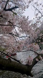 井の頭 桜3