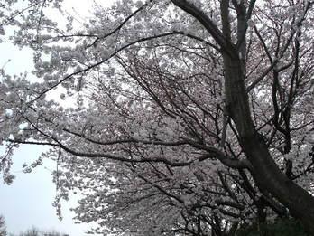 野川遊歩道 成城