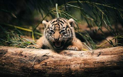 wallpaper-tiger-photo-04