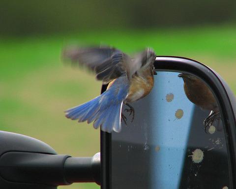bluebird_carmirror