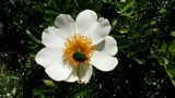 フィリピンのバラ