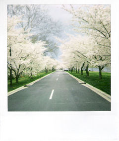 Cherry_Blossoms_by_jesuswasblack