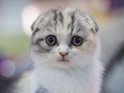 【ペット】耳が垂れ下がった猫の品種「スコティッシュ・フォールド」に繁殖停止求める声