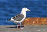 KB6_2308オオセグロ成鳥