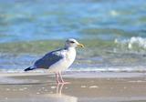 DSC_9033セグロカモメ成鳥