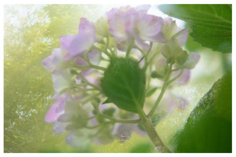 紫陽花の多重露光枠入り