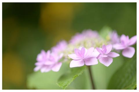 ピンクの紫陽花枠入り