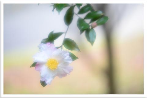 山茶花と蕾シルキーフィルター