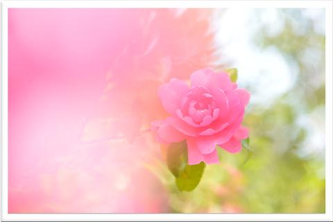 ピンクの山茶花の花枠入り