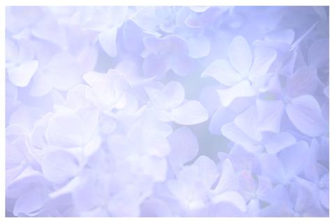 紫陽花の花多重露光枠入り