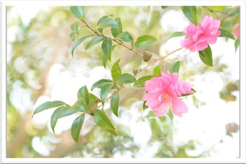 ピンクの山茶花の花玉ボケ