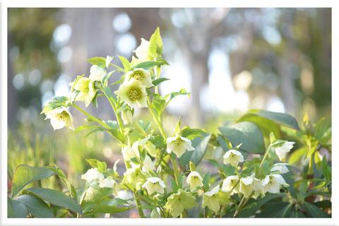 白いクリスマスローズの花