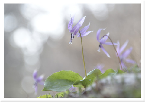 カタクリの花と木漏れ日
