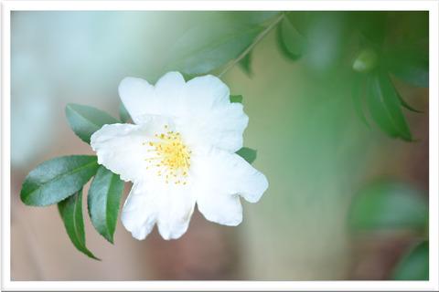 白いサザンの花と前ボケ