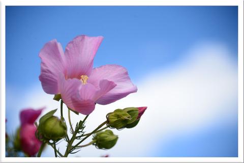 芙蓉の花と秋の空
