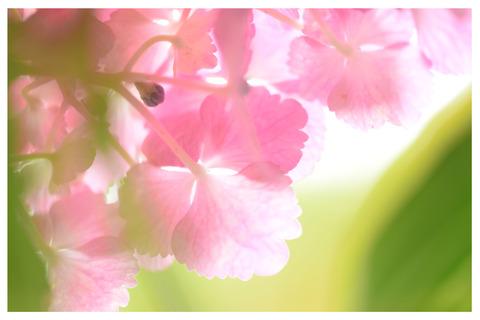 紫陽花の花隙間枠入り