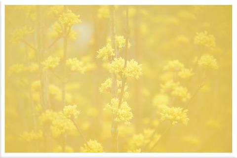 サンシュユの花多重露光