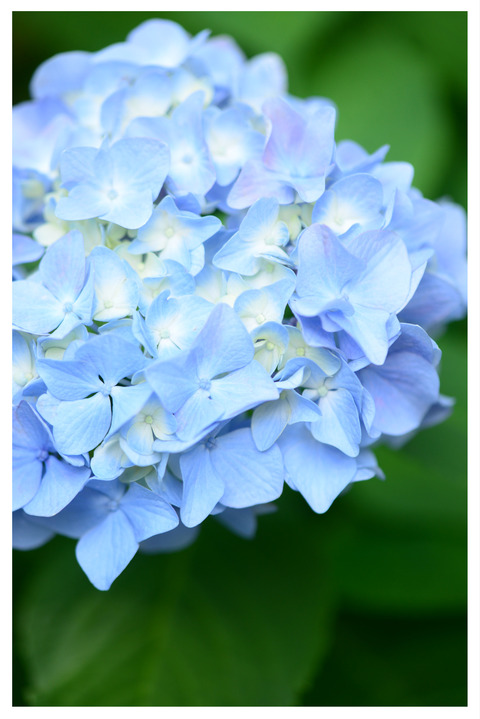 ブルーの紫陽花の花