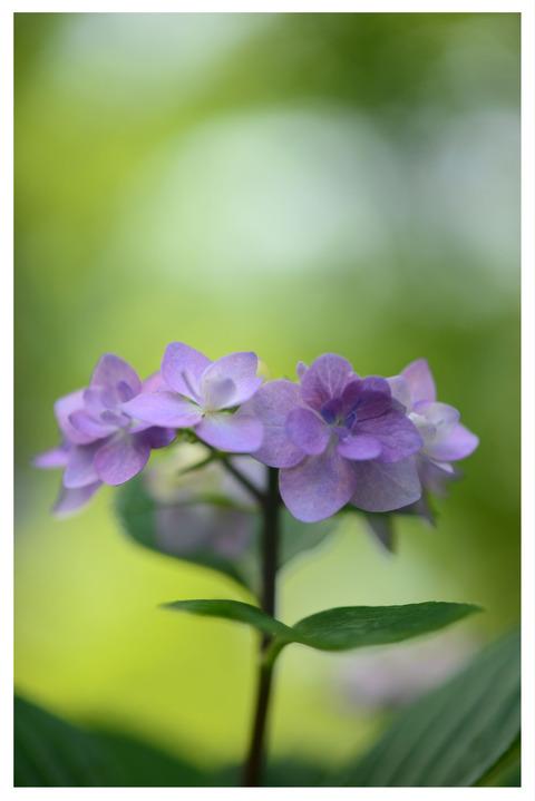紫陽花の花縦