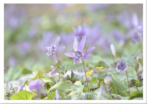 カタクリの花達