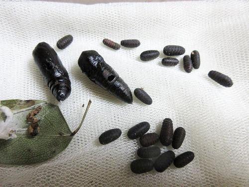 寄生された蛹と寄生蛹適