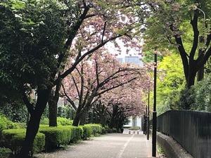 IMG_0593八重桜並木