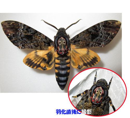 016展翅標本と羽化直後写真