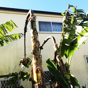 枯れバナナ適