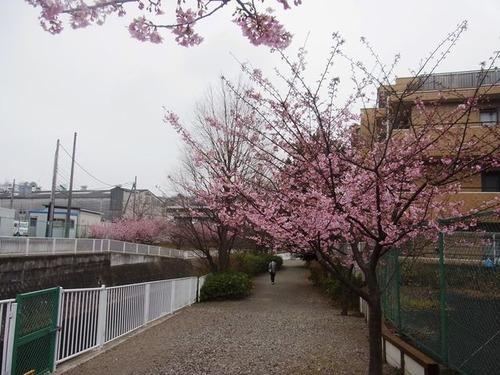 永谷川の河津桜