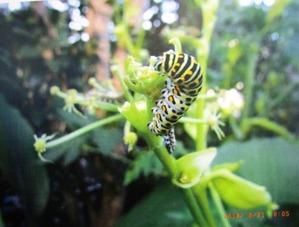 キアゲ幼虫
