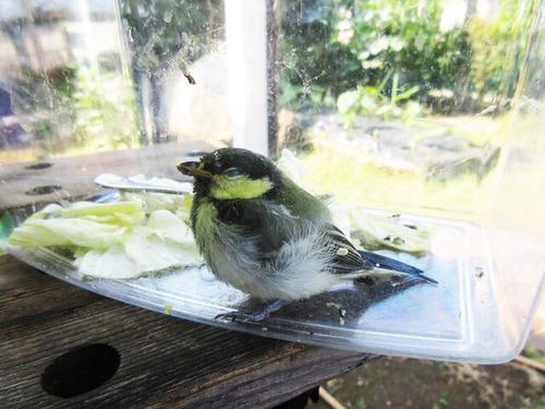 IMG_7091シジュウカラ幼鳥