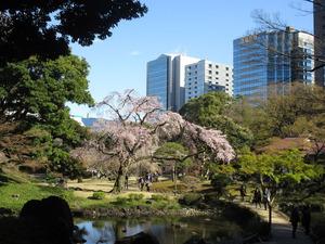 IMG_5843小石川後楽園シダレ桜
