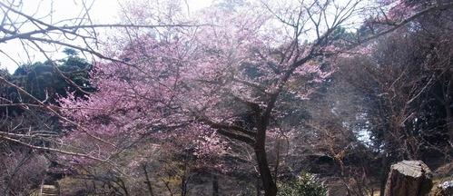 047今回最も美しい桜と思われる「陽光」