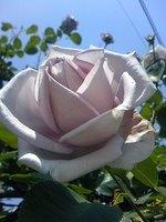 眞崎達二朗様のご自宅の紫の薔薇?