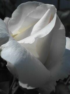 初々しい白い薔薇のつぼみ