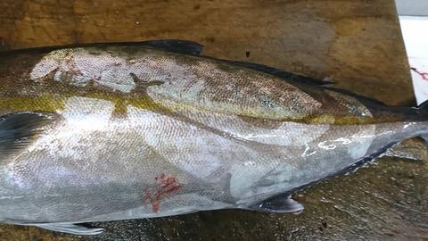 魚にビニールの後