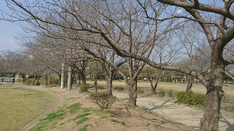 2017-03-19 仁洋誕生日の桜2