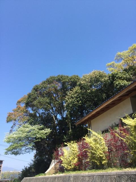 ザイフリボクの花