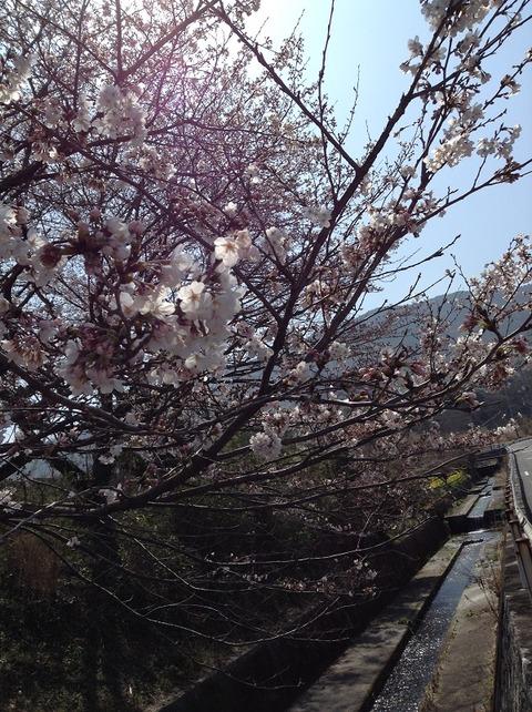 桜開花2018