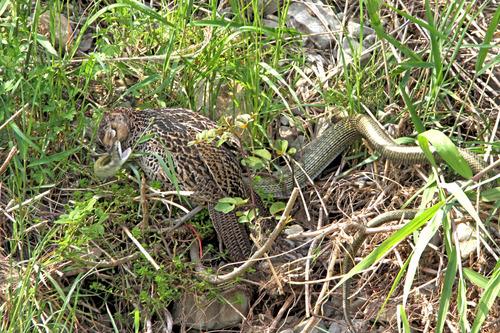 IMG_0857 キジメスと蛇ファイト のコピー